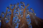 Arbre, Aloe Dichotoma. *** Quiver Trees