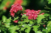 Zweigriffliger Weißdorn, Rote Zuchtform, Zierform, Rotdorn, Weissdorn, Crataegus laevigata, Crataegus oxyacantha, English Hawthorn, May