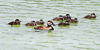 Mother ruddy duck and ducklings