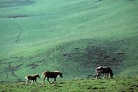 Europe/France/Auvergne/12/Aveyron: Aubrac - Cheval en pâturage