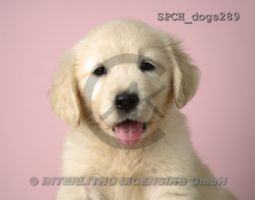 Xavier, ANIMALS, dogs, photos(SPCHdogs289,#A#) Hunde, perros