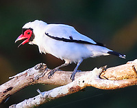 Masked tityra male
