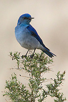 This male Mountain Bluebird's (Sialia currucoides) breeding plumage is brilliant blue. From his perch he can hunt for insects or sing a sweet song to his potential mate.