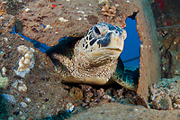 A green sea turtle, Chelonia mydas, an endangered species, is poking it's head through the side of an old wreck off the coast of Maui, Hawaii.