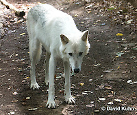 0823-1015  Gray Wolf (Grey Wolf) with White Colored Coat, Canis lupus  © David Kuhn/Dwight Kuhn Photography