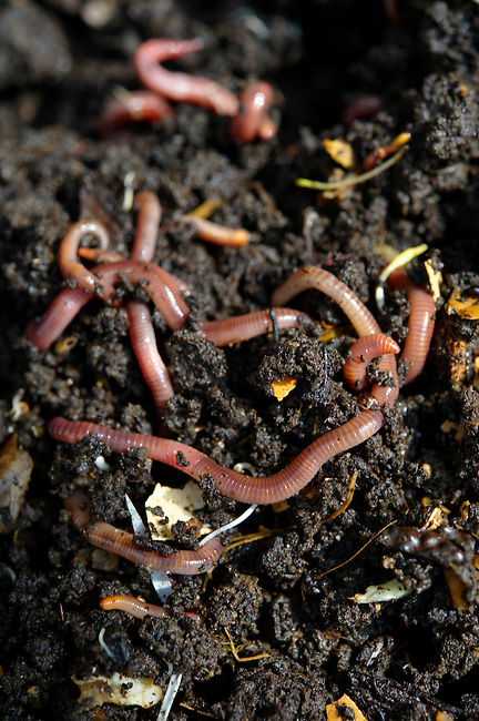 Worms in a wormery