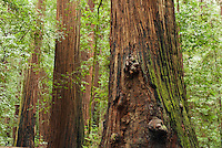 Coast redwoods, Sequoia sempervirens, in Big Hendy Grove, Hendy Woods State Park, California