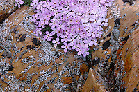 Alpine phlox near Snowy Range Pass<br />