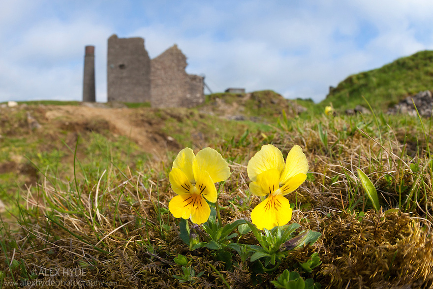 Mountain Pansy {Viola lutea}, a lead tolerant plant flowering at Magpie Mine, a disused lead works. Peak District National Park, Derbyshire, UK. May