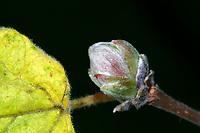 Haselnuss-Knospengallmilbe, Hasel-Gallmilbe, Haselgallmilbe, Haselnuss-Gallmilbe, Haselnussgallmilbe, deutlich verdickte Knospen, Phytoptus avellanae, Eriophyes avellanae, Eriophyes coryligallarum, Phytocoptella avellanae, Phytoptus coryligallarum, Phytoptus pseudogallarum, Aculus comatus, acarine gall-mite, big bud galls