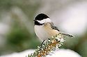00175-011.15 Black-capped Chickadee is perched on a spruce branch during winter.  Snow, cold, frost, rime, hoar.