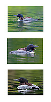 Loon with Chicks collage