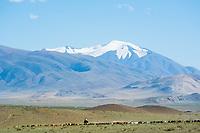 Mongolia, Bayan-Ulgii, Ulgii, Altai Mountai near Tsambagarav Mountain. Animals grazing.