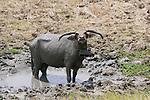 Water Buffalo