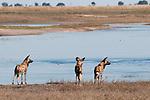 Three wild dogs (Lycon pictus) standing beside the Chobe River, Chobe National Park, Botswana.