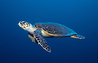 hawksbill sea turtle, Eretmochelys imbricata, Red Sea, Indian Ocean