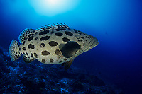 potato cod grouper, Epinephelus tukula, Aldabra Atoll, Natural World Heritage Site, Seychelles, Indian Ocean