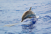 Pantropical Spotted Dolphin juvenile, Stenella attenuata, jumping out of wake, off Kona Coast, Big Island, Hawaii, Pacific Ocean