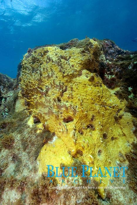 Yellow encrusting sponge, Fernando de Noronha, Brazil