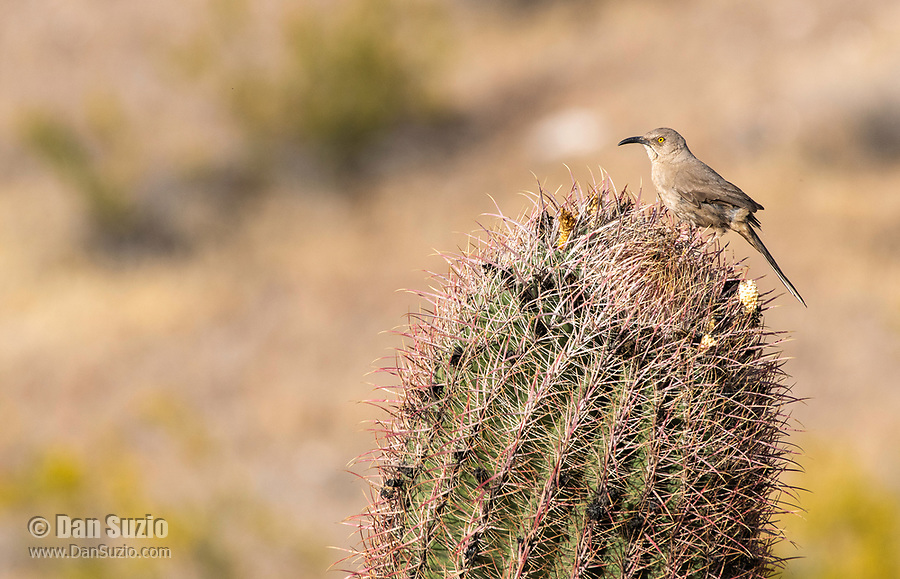 Curve-billed Thrasher, Toxostoma curvirostre, perches on a Saguaro cactus, Carnegiea gigantea, in Dreamy Draw Park, part of the Phoenix Mountains Preserve near Phoenix, Arizona