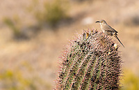 Curve-billed Thrasher, Toxostoma curvirostre, perches on a Saguaro cactus, Carnegiea gigantea, in Dreamy Draw Park, part of the Phoenix Mountains Preserve near Phoenix, Arizona