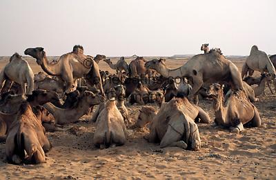 EGY, Aegypten, Libysche Wueste: Dromedar-Karawane bei einer Rast   EGY, Egypt, Libyan Desert, dromedary caravan resting