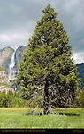 Yosemite Falls in Spring and Leidig Meadow Fir, Yosemite National Park