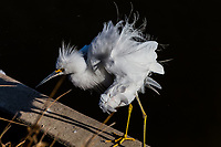 A Snowy egret ruffles its own feathers, stretching and airing before grooming itself, plucking and preening.