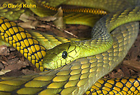 0423-1111  Western Green Mamba (West African Green Mamba), Dendroaspis viridis  © David Kuhn/Dwight Kuhn Photography