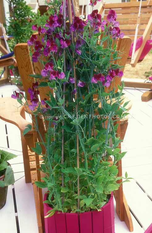 Lathyrus odoratus 'Cupani' (Sweet Peas) in matching container on deck, fragrant annual flowering vine