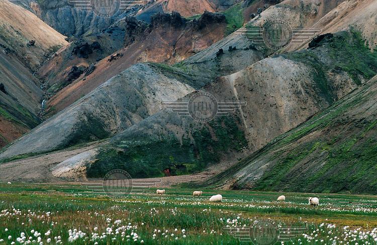 Sheep grazing beneath volcanic mountains.