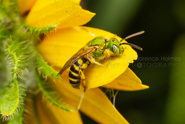 Bicolored Striped-Sweat Bee (Agapostemon virescens) - Male