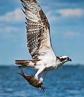Osprey with fish catch, Pandion haliaetus, North Carolina
