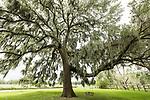 Damon, Texas; massive live oak trees in the yard spread their branches across an overcast sky
