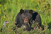 Wild, adult, Black Bear (Ursus americanus).  Western U.S., spring.