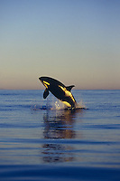Killer Whale (Orcinus orca) breaching at sunset in the entrance to Juan de Fuca Strait off the southwest coast  of Vancouver Island, British Columbia, Canada.