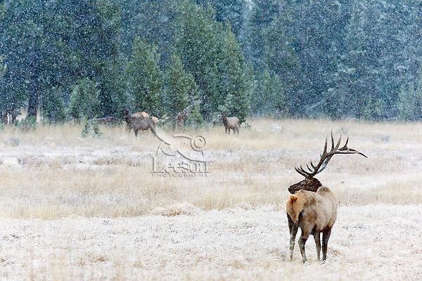Rocky Mountain bull Elk bull (Cervus canadensis nelsoni) watching over cow elk in snowstorm.  Northern U.S. Rocky Mountains.  October.