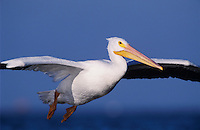 American White Pelican, Pelecanus erythrorhynchos, adult in flight landing, Rockport, Texas, USA, December 2003