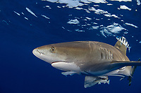 oceanic whitetip shark, Carcharhinus longimanus, accompanied by pilotfish ( Naucrates ductor ), and remoras ( Remora remora ), open ocean, Hawaii ( Central Pacific Ocean )