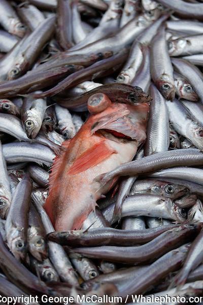 Redfish Sebastes marinus and  blue whiting Micromesistius poutassou or Gadus poutassou on trawler deck
