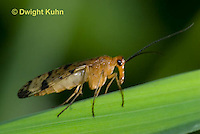 1F09-502z  Scorpionfly, Panorpa spp.