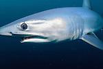 New Zealand Sharks