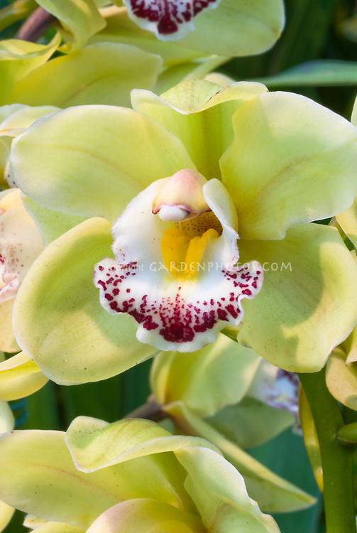 Cymbidium Via Irish-Elf 'Wintergreen' Orchid in yellow green flowers