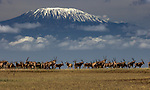 Kenya, Chyulu Hills National Park, Kilimanjaro East African oryx (Oryx beisa), also known as the beisa