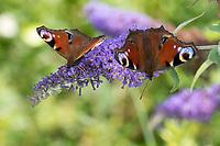 Tagpfauenauge, Tag-Pfauenauge, Blütenbesuch auf Schmetterlingsflieder, Buddleja, Aglais io, Inachis io, Nymphalis io, peacock moth, European peacock, peacock, peacock butterfly, Le Paon du jour