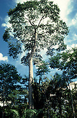 Rondonia State, Brazil. Brazil nut tree in the Amazon rainforest.