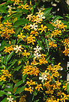 3509-CB Sweetshade Tree, flowers, Hymenosporum flavum, at Bakersfield, CA USA