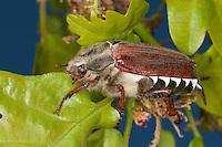 Gemeiner Maikäfer, Feld-Maikäfer, Feldmaikäfer, Mai-Käfer, Melolontha melolontha, frisst an Eiche, maybeetle, may-beetle, common cockchafer, maybug