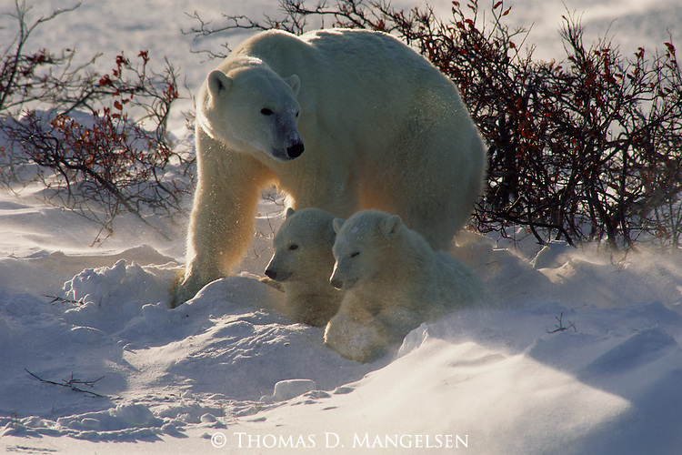 A polar bear shields her cubs from the wind and snow at Hudson Bay in Manitoba, Canada.