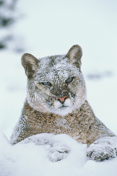 Mountain Lion or cougar (Puma councilor) resting in snow.  Western U.S., winter.